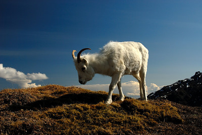 Dall's sheep ewe in the Alaska Range.
