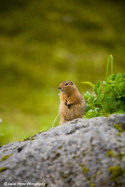 Arctic Ground Squirrel along the Hatcher Pass Road.<br /> August 12, 2010