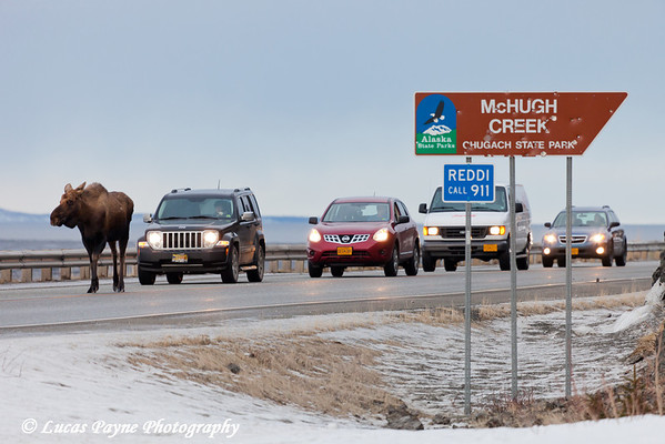 A moose walking on the Seward Highway delays traffic at McHugh Creek, Chugach State Park<br /> February 17, 2012