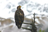Immature bald eagle on the Kenai Peninsula.