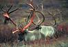 AK-1987-s437a Denali caribou