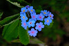 Forget-me-nots say it with love.<br /> Myosotis latifolia.