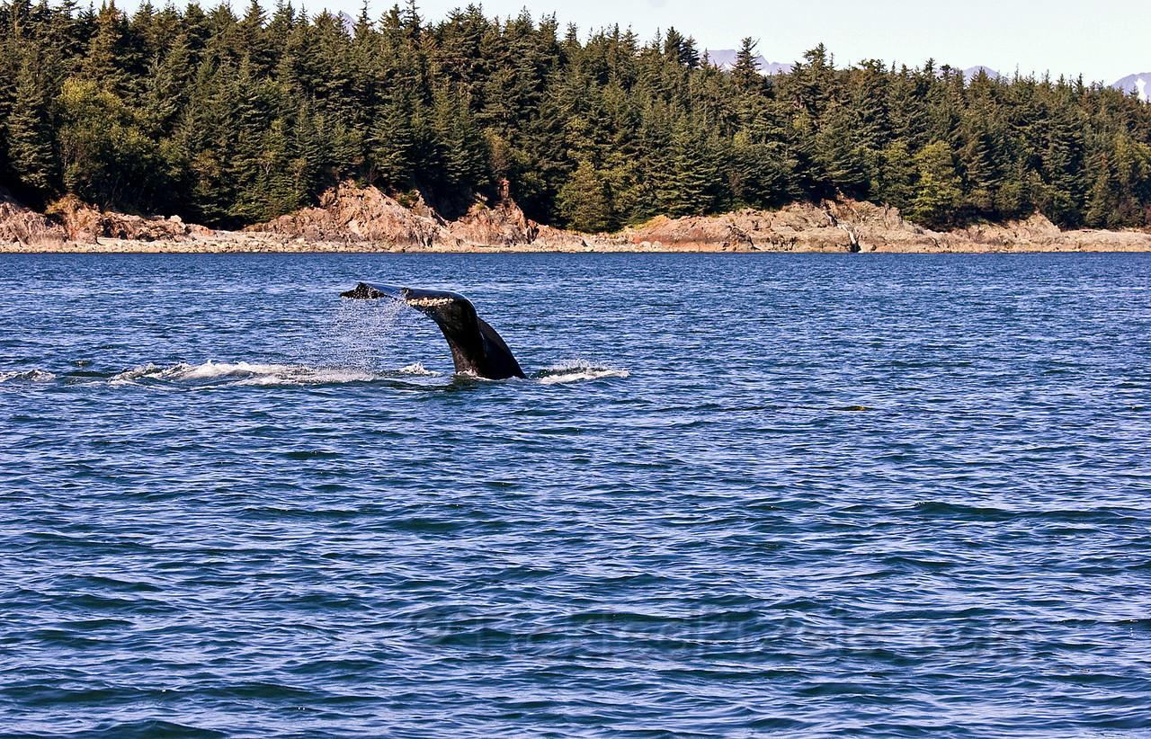 Humpback Dive 5 of 6