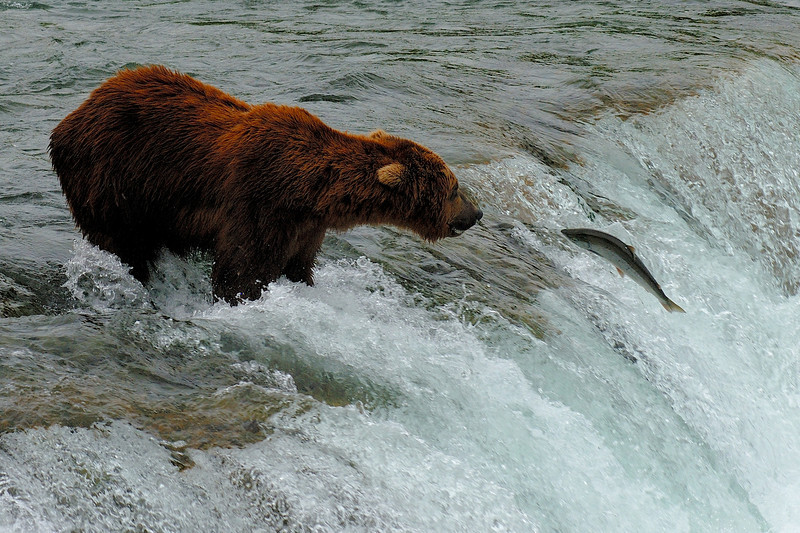 Brown bear and sockeye salmon on the Brooks River in Katmai National Park.