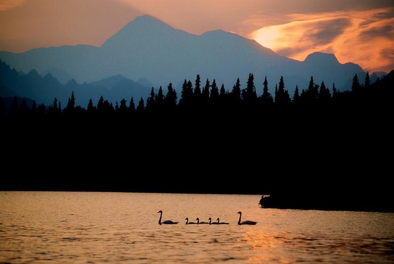 Tundra swans on Byers Lake below Mt. McKinley.