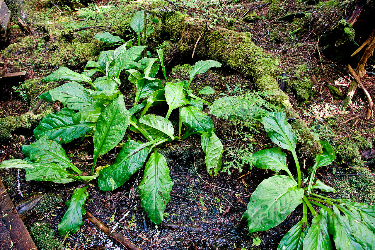 Skunk Cabbage - The Bear Laxative