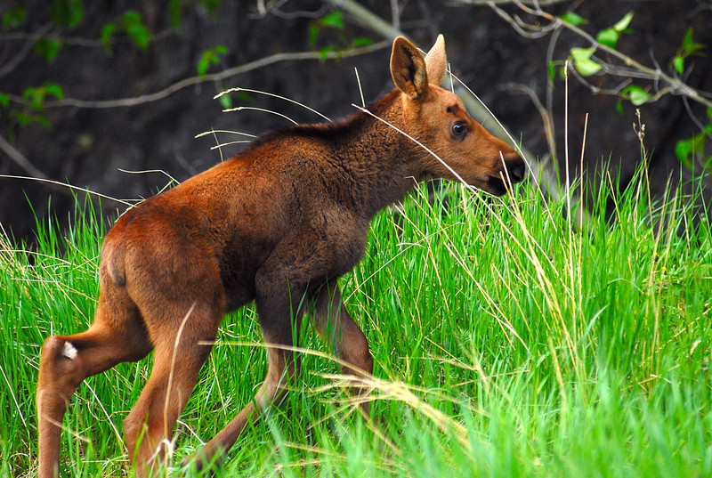 Moose calf born 1 to 2 weeks earlier in the Chugach Mountains.