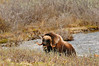 Musk ox grazing above Caribou Creek on the Kongakut River. Arctic National Wildlife Refuge.