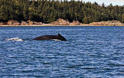 Humpback Dive 1 of 6
