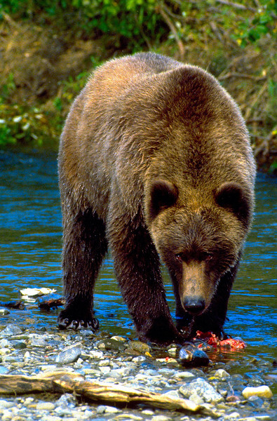 Brown bear on Margot Creek in Katmai.