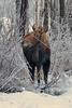 AK-2019-0100a Wasilla moose
