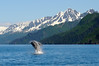 Humpback whale breaching in Aialik Bay in Kenai Fjords National Park.