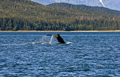 Humpback Dive Sequence 4 of 5