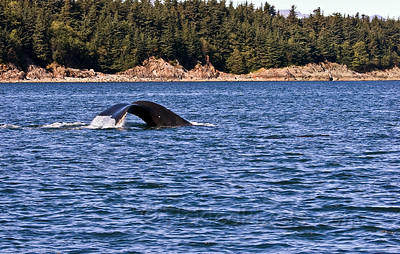 Humpback Dive 2 of 6