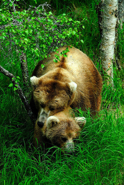 Brown bears of the Alaska Peninsula.