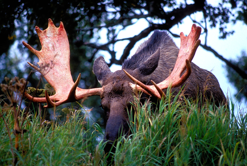 Bull moose in the autumn rutting season in south central Alaska.