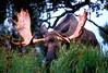 Bull moose in the autumn rutting season in south central Alaska.