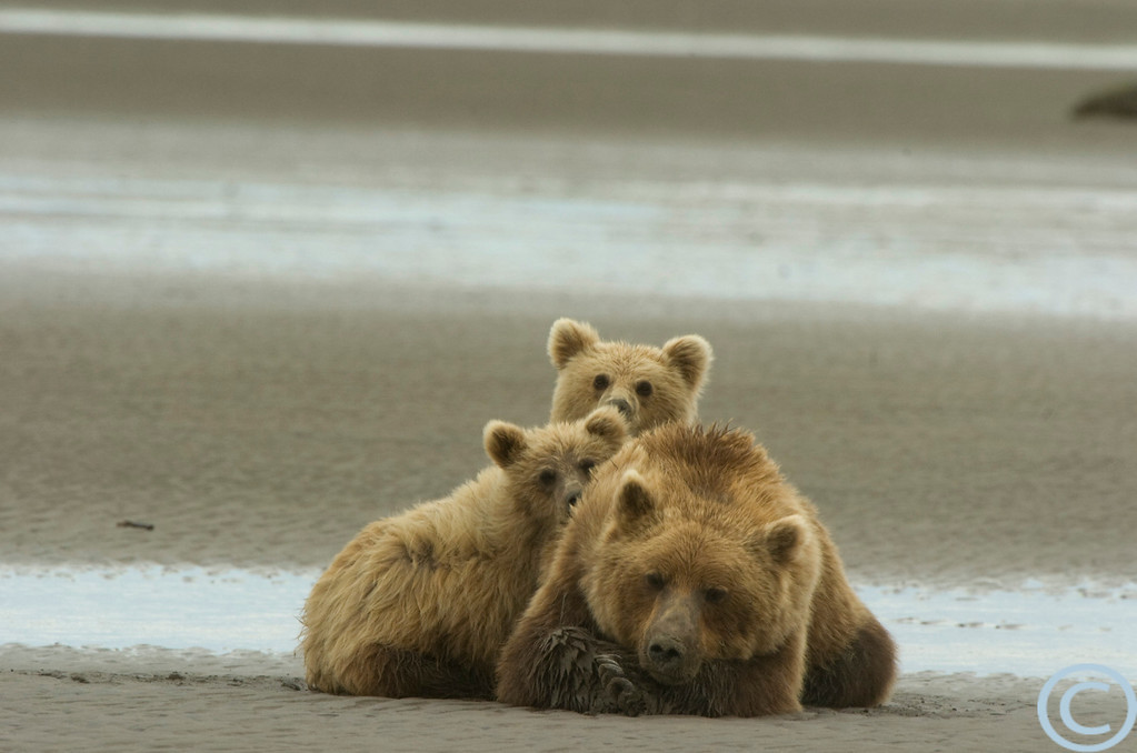 SSC Grizzly Bears 1/ 125s, at f/11 || E.Comp:0 || 550mm || WB: AUTO 0. || ISO: 400 || Tone: AUTO || Sharp: AUTO || Camera: NIKON D2Hon: 2004:07:25 16:19:15