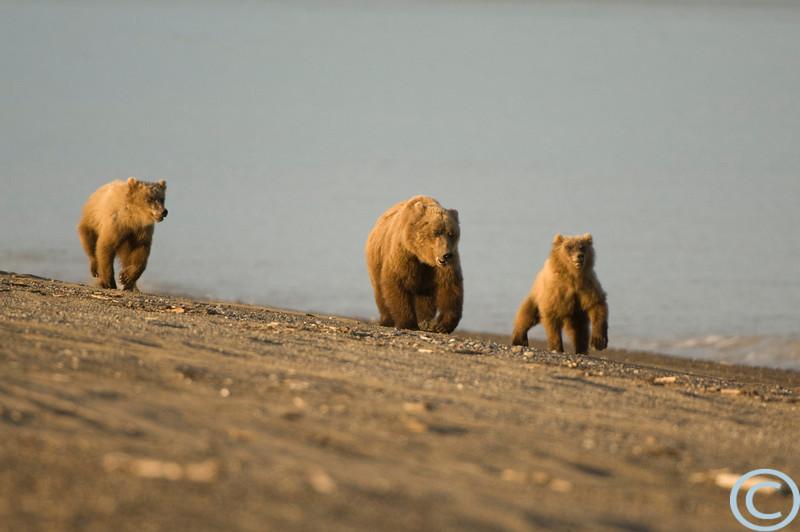 Alaska Grizzly Bear -- Coastal 1/ 1000s, at f/4 || E.Comp:0 || 400mm || WB: AUTO 0. || ISO: 400 || Tone: AUTO || Sharp: AUTO || Camera: NIKON D2Xon: 2005:07:18 21:41:39