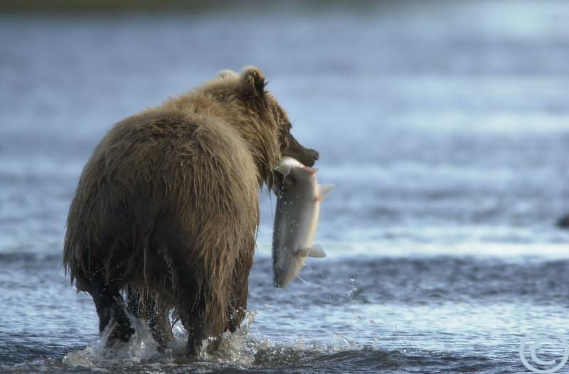 Alaska Bear Safari Images