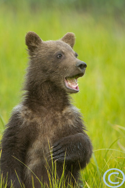SSC Grizzly Bears 1/ 250s, at f/5.6 || E.Comp:0 || 550mm || WB: AUTO 0. || ISO: 400 || Tone: AUTO || Sharp: AUTO || Camera: NIKON D2Hon: 2004:07:29 18:57:10
