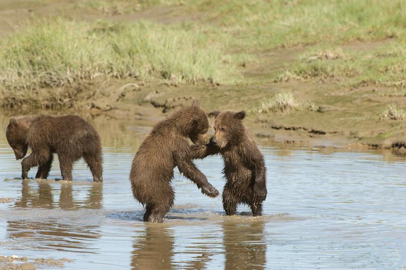 Alaska Grizzly Bear -- Coastal 1/ 500s, at f/8 || E.Comp:0 || 400mm || WB: AUTO 0. || ISO: 400 || Tone: AUTO || Sharp: AUTO || Camera: NIKON D2Xon: 2005:07:17 17:04:27