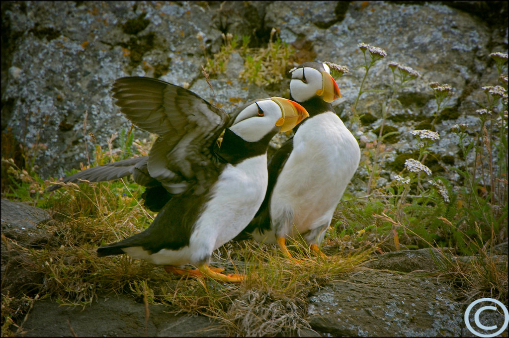 Horned Puffins 1/ 200s, at f/8 || E.Comp:0 || 650mm || WB: AUTO 0. || ISO: 400 || Tone: AUTO || Sharp: AUTO || Camera: NIKON D2Xon: 2005:07:15 12:24:50