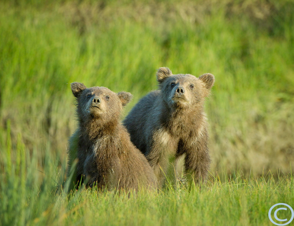 Alaskan Brown Bear Cubs (also known as Grizzly Bears). Looking up at a passing bird. 1/ 500s, at f/4.8 || E.Comp:0 || 340mm || WB: AUTO 0. || ISO: 400 || Tone: AUTO || Sharp: AUTO || Camera: NIKON D2Xon: 2005:07:17 20:56:01