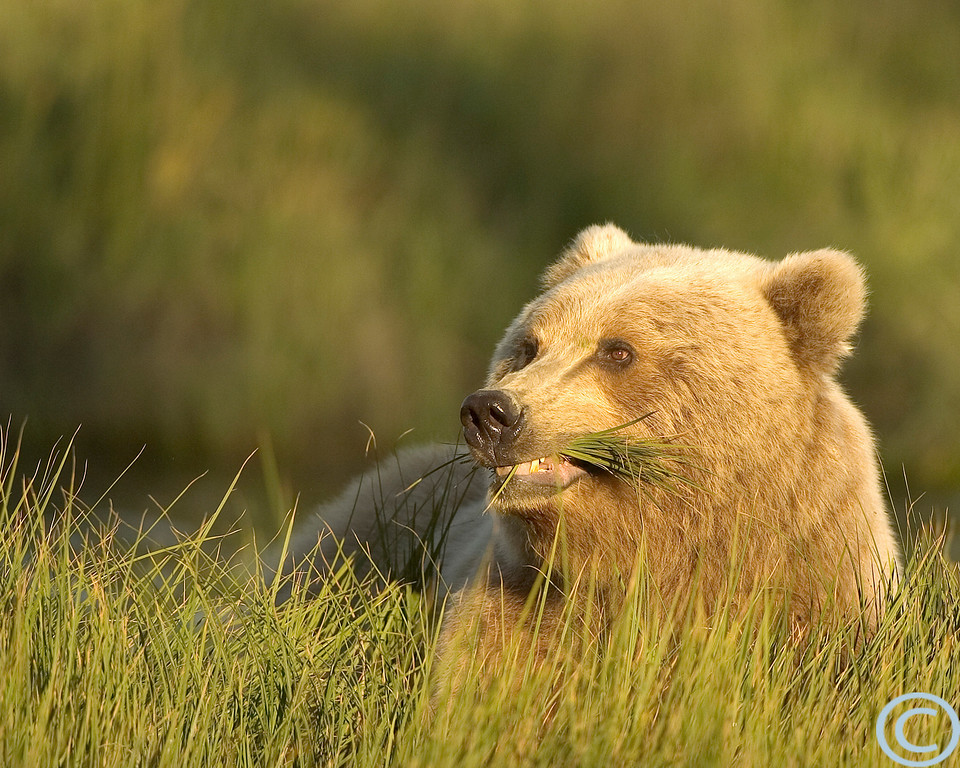 SSC Brown Bear 1/ 750s, at f/4 || E.Comp:0 || 400mm || WB: AUTO 0. || ISO: 200 || Tone: AUTO || Sharp: AUTO || Camera: NIKON D2Hon: 2004:07:23 21:55:16