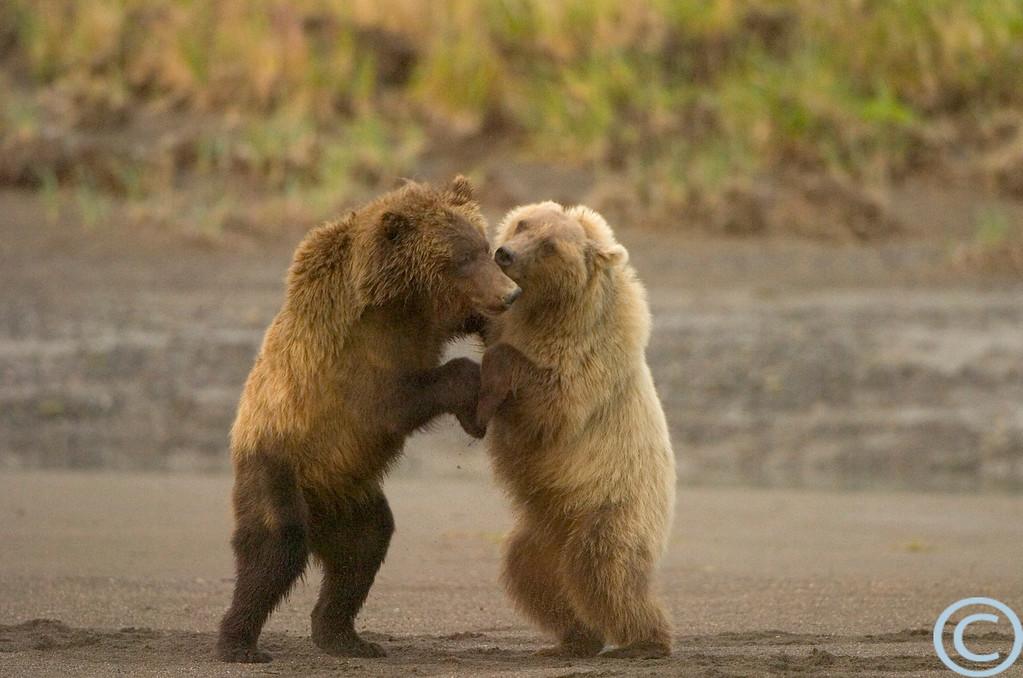 SSC Brown Bear 1/ 320s, at f/4 || E.Comp:0 || 380mm || WB: AUTO 0. || ISO: 1600 || Tone: AUTO || Sharp: AUTO || Camera: NIKON D2Hon: 2004:07:23 07:53:41