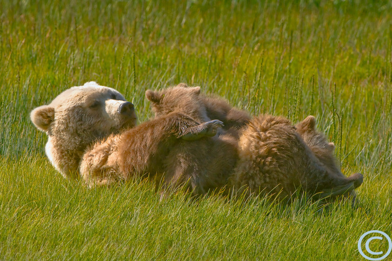 Female Brown Bears with cubs are both secretive and protective. It is rare to see them nurse in the open--especially with people around. Even more unusual is being fortunate enough to have it all happen in front of you in perfect light. After eight years of photographing bears in the same location this mom had become comfortable enough with us to nurse her hungry cubs while we watched and the sun set. Lake Clark Park, Alaska