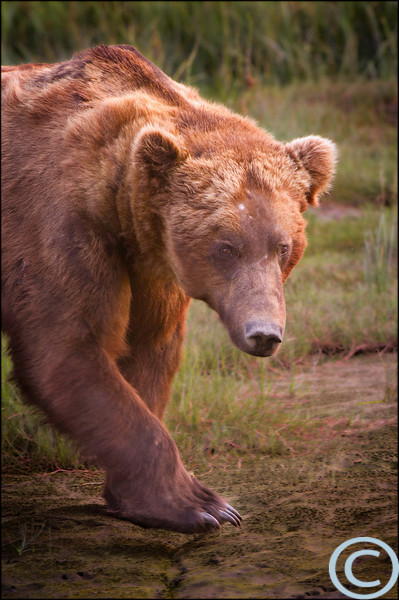 Coastal Grizzly Bears 1/ 125s, at f/6.7 || E.Comp:0 || 400mm || WB: AUTO 0. || ISO: 400 || Tone: AUTO || Sharp: AUTO || Camera: NIKON D2Xon: 2005:07:13 18:27:09