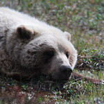 Another shot of Grizzly, sleeping