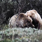 Pair of Grizzlies playing