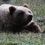 Grizzly waking up finally