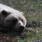 Grizzly sleeping close up