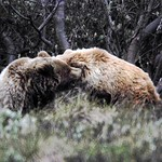 Grizzly Bears Playing 4