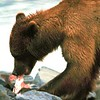 Happy Grizzly, not so happy Salmon