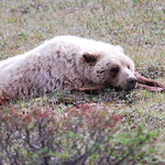 Grizzly Bear napping