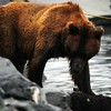 Mama Grizzly Bear with cub a her feet