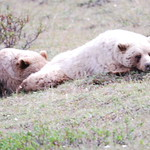 Couple of sleeping Grizzly Bears in Denali National Park