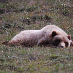 Still napping Grizzly