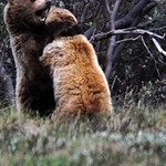 Grizzly Bears Playing 3