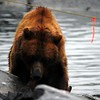 Mama Grizzly bear