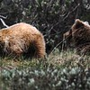 Grizzly bear leaving 2