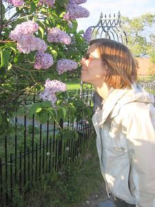Lilacs of the Midnight Sun