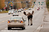 Bull Moose holding up traffic on Debarr Road in Anchorage, Alaska.<br /> October 03, 2010
