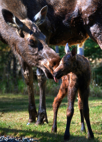 Cmw moose with newborn calf (1 day old)