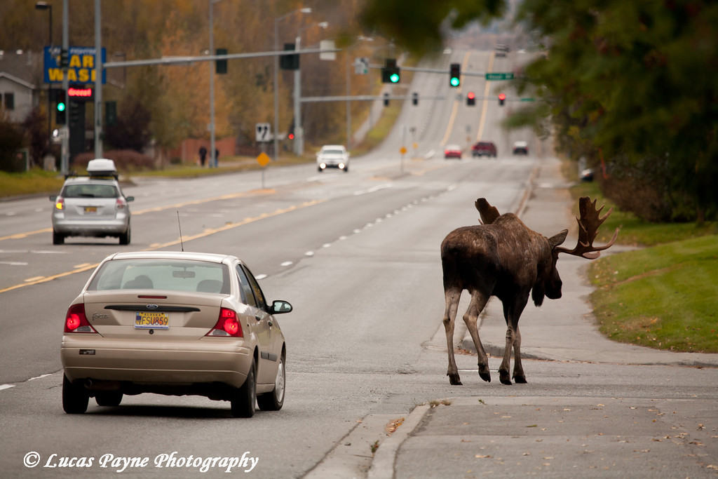 Bull Moose along Debarr Road in Anchorage, Alaska.<br /> October 03, 2010