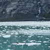 Harbor seal drifting on an iceberg in the waters below Johns Hopkins Glacier